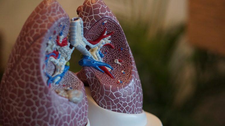 Lungs model showcase science behind healthy breathing